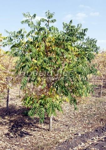 Лиственный крупномер Орех серый (Juglans cinerea)