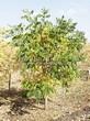 Лиственный крупномер Орех серый (Juglans cinerea) - 101