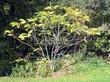 Лиственный крупномер Орех серый (Juglans cinerea) - 102