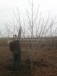 Лиственный крупномер Орех серый (Juglans cinerea) - 103
