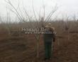 Лиственный крупномер Орех серый (Juglans cinerea) - 104