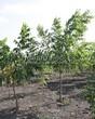 Лиственный крупномер Орех серый (Juglans cinerea) - 105