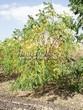 Лиственный крупномер Орех серый (Juglans cinerea) - 106