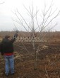 Лиственный крупномер Орех маньчжурский (Juglans mandshurica) - 102