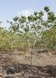 Лиственный крупномер Орех маньчжурский (Juglans mandshurica) - 103