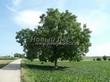 Лиственный крупномер Орех грецкий (Juglans regia) - 105