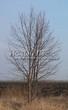 Лиственный крупномер Липа мелколистная (Tilia cordata) - 103