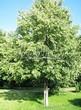 Лиственный крупномер Липа мелколистная (Tilia cordata) - 105