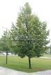 Лиственный крупномер Липа мелколистная (Tilia cordata) - 106
