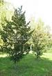 Лиственный крупномер Липа мелколистная (Tilia cordata) - 107