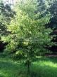 Лиственный крупномер Липа мелколистная (Tilia cordata) - 109
