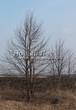Лиственный крупномер Липа мелколистная (Tilia cordata) - 111