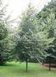 Лиственный крупномер Липа мелколистная (Tilia cordata) - 112