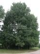 Лиственный крупномер Липа мелколистная (Tilia cordata) - 113