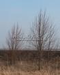 Лиственный крупномер Липа мелколистная (Tilia cordata) - 115