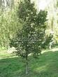 Лиственный крупномер Липа мелколистная (Tilia cordata) - 116