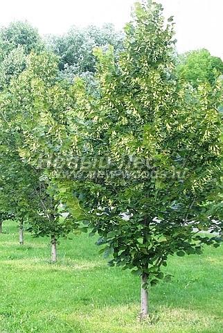Посадка лиственных крупномеров Липы крупнолистной