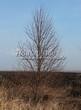 Лиственный крупномер Липа крупнолистная (Tilia platyphyllos) - 103