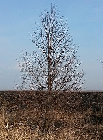 Липа крупнолистная: посадка крупномеров лиственных деревьев