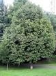 Лиственный крупномер Липа крупнолистная (Tilia platyphyllos) - 106