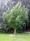 Лиственный крупномер Ясень обыкновенный (Fraxinus excelsior)