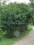 Лиственный крупномер Сирень обыкновенная (Syringa vulgaris)