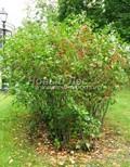 Лиственный крупномер Черноплодная рябина (Арония черноплодная) (Aronia melanocarpa)