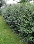 Лиственный крупномер Кизильник блестящий (Кизильник остролистный разновидность блестящий) (Cotoneaster lucidus (Cotoneaster acutifolius var. lucidus))