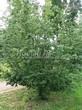 Лиственный крупномер Боярышник однопестичный (Crataegus monogyna) - 102