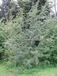 Лиственный крупномер Боярышник однопестичный (Crataegus monogyna) - 103