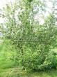 Лиственный крупномер Боярышник однопестичный (Crataegus monogyna) - 104