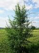Лиственный крупномер Боярышник однопестичный (Crataegus monogyna) - 105