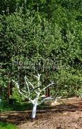 Лиственный крупномер Яблоня домашняя (Malus domestica)