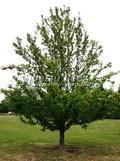 Лиственный крупномер Яблоня сливолистная (Яблоня китайская) (Malus prunifolia)