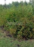 Лиственный крупномер Пузыреплодник калинолистный (Physocarpus opulifolius)