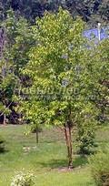 Лиственный крупномер Черемуха Маака (Prunus maackii (Padus maackii))