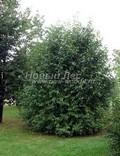 Черёмуха обыкновенная (Черёмуха птичья) (Prunus padus (Padus racemosa))