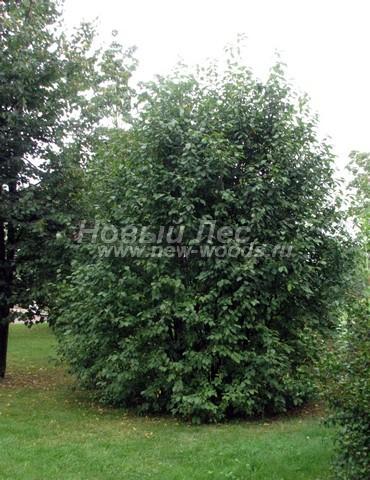 Лиственный крупномер Черемуха обыкновенная (Prunus padus)