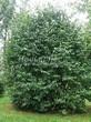 Лиственный крупномер Черемуха обыкновенная (Prunus padus (Padus racemosa)) - 101