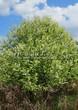 Лиственный крупномер Черемуха обыкновенная (Prunus padus (Padus racemosa)) - 102