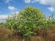 Лиственный крупномер Черемуха обыкновенная (Prunus padus (Padus racemosa)) - 104