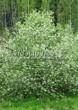 Лиственный крупномер Черемуха обыкновенная (Prunus padus (Padus racemosa)) - 105