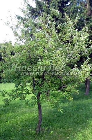 Лиственный крупномер Черемуха виргинская (Prunus virginiana)