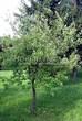 Лиственный крупномер Черемуха виргинская (Prunus virginiana (Padus virginiana)) - 101