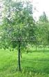 Лиственный крупномер Черемуха виргинская (Prunus virginiana (Padus virginiana)) - 102