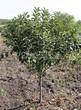 Лиственный крупномер Черемуха виргинская (Prunus virginiana (Padus virginiana)) - 104