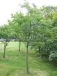 Лиственный крупномер Черемуха виргинская (Prunus virginiana (Padus virginiana)) - 106