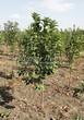Лиственный крупномер Черемуха виргинская (Prunus virginiana (Padus virginiana)) - 107