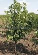 Лиственный крупномер Черемуха виргинская (Prunus virginiana (Padus virginiana)) - 108