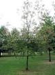 Лиственный крупномер Черемуха виргинская (Prunus virginiana (Padus virginiana)) - 109